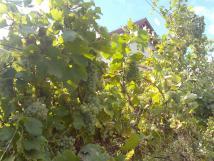 mezi-vinohrady-1